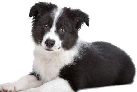 Czarno-biały pies na białym tle