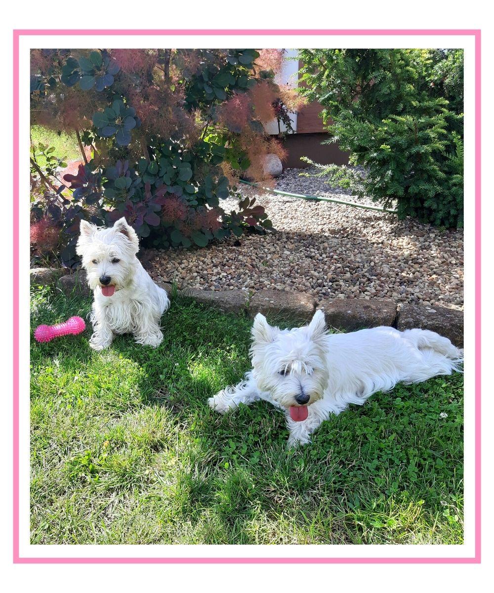 Dwa psy leżące w ogrodzie na trawie w cieniu