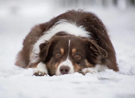 Brązowo-biały pies leżący na śniegu