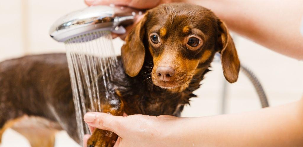 Jamnik w kąpieli mycie psa przed obcinaniem sierści