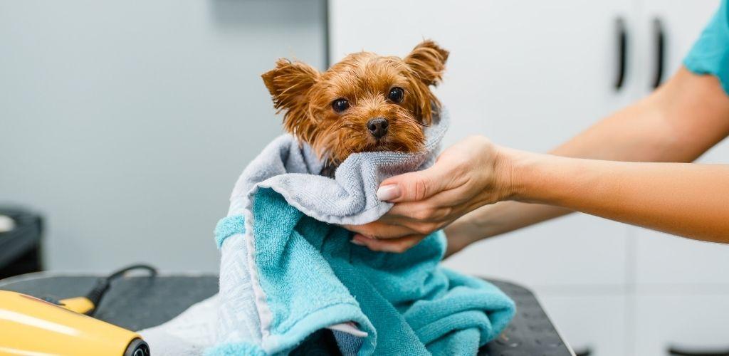 Pies w kąpieli york terier wycierany ręcznikiem suszenie psa