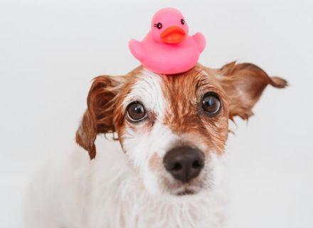 Mokry pies z gumową kaczką na głowie, kosmetyki dla psów